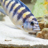 Bumblebee Cichlid Looking in the Sand for Food — Stock Photo