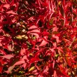 Постер, плакат: Beautiful Bright Red Winter Leaves of Dwarf Nandina Cultivar