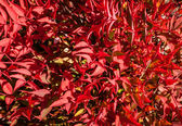 Beautiful Bright Red Winter Leaves of Dwarf Nandina Cultivar — Stock Photo