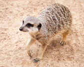 Cute Brown Meerkat Looking Up after Digging in Sand — Stock Photo