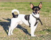 Cute Rat Terrier Dog with Upright Ears Standing on Grass — Stock Photo