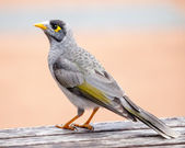 Noisy Miner Standing on a Wooden Table — Stock Photo