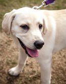 Happy Labrador Puppy Walking on a Leash — Stock Photo