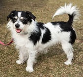 Long Haired Black and White Jack Russell Terrier Dog — Stock Photo