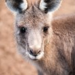 Head of Australian Eastern Grey Kangaroo with Ears Up — Stock Photo #49530101