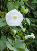 Invasive Weed Field Bindweed Climbing Up a Fence — Stock Photo