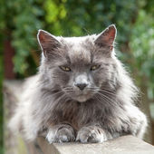 Old Long-Haired Grey Cat with Yellow Eyes on Railing — Stock Photo