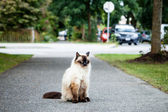 Grumpy Balinese Cat Sitting on Sidewalk near Road — Stock Photo