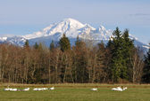 Trumpeter Swans and Mount Baker — Stock Photo