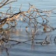 Stock Video: Old drift wood tree lying in rippling water at sunrise.