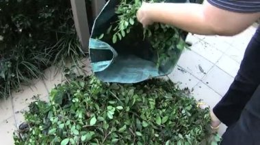 Female gardener putting leaf litter into a large gardening bag. — Stock Video