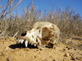 Dog skull — Stock Photo