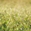 Grass with dew closeup — Stock Photo