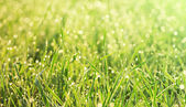 Grass in the morning dew close-up — Stock Photo