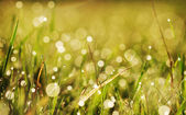 Autumn grass with dew — Stock Photo