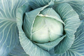 Head of ripe green cabbage leaves — Stock Photo