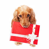 The dog with the beautiful present — Stock Photo