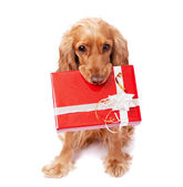 The dog is holding a present — Stock Photo