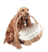 Red dog holding a basket — Stock Photo