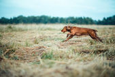 Red dog in the grass — Stock Photo