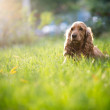 Stock Photo: Spaniel dog breed is in the grass under sunlight