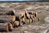 Cut tree felling trees — Stock Photo