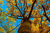 Tree.Old branchy tree in autumn photographed from below — Stock Photo