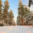 Winter frosty morning in a pine forest — Stock Photo