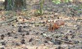 Esquilo — Fotografia Stock