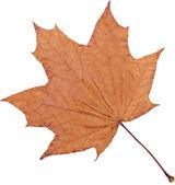 Maple-leaf — Stock Photo