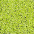 Texture of beautiful green duckweed on Swamp — Foto Stock