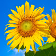 Stock Photo: Sunflower field over cloudy blue sky and bright sun lights