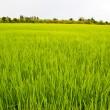 Rice exports worldwide farm — Stock Photo #33877205