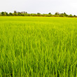 Stock Photo: Rice exports worldwide farm