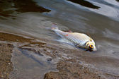 Died fish caused by water pollution — Stock Photo