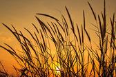 Salida del sol hermosa mañana con pasto de trigo en primer plano — Foto de Stock