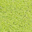 Texture of beautiful green duckweed on Swamp — Stock Photo