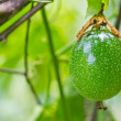 Green Passion fruit — Stock Photo #34460469