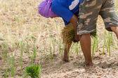 Thai farmer is transplanting rice seedlings in dry earth — Stock Photo