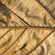 Dry Teak leaf close up — Stock Photo