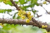 Star gooseberry on tree (Phyllanthus acidus Skeels.) — Stock Photo