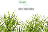 Bamboo leaves isolated on white background with sample text for — Stock Photo