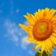 Sunflower field over cloudy blue sky and bright sun lights — Stock Photo