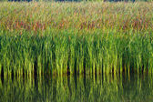 Green aquatic plant — Stock Photo