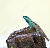 Blue iguana in the nature — Stock Photo