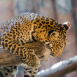 Leopard portrait — Stock Photo #34981405
