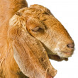 Stock Photo: Goat, standing in front of white background