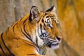 Porträt der Amur-Tiger — Stockfoto
