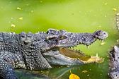 Wildlife crocodile open mouth isolated on white background — Photo