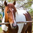 Horse at thailand — Stock Photo